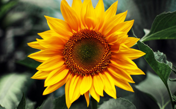 Hoa hướng dương | Chi tiết về ý nghĩa, nguồn gốc và cách cắm hoa