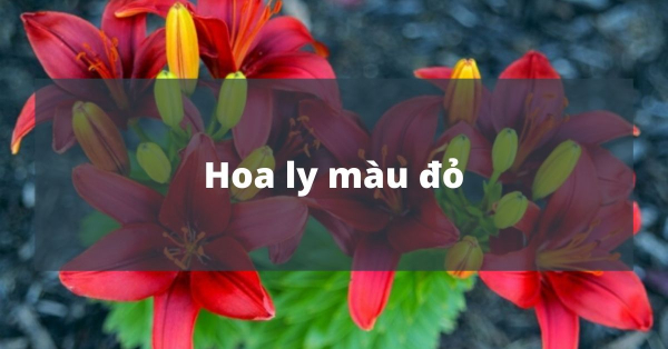 Ý nghĩa của hoa ly màu đỏ