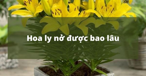 Hoa ly nở được bao lâu? Chia sẻ kinh nghiệm chăm sóc hoa ly được tươi lâu