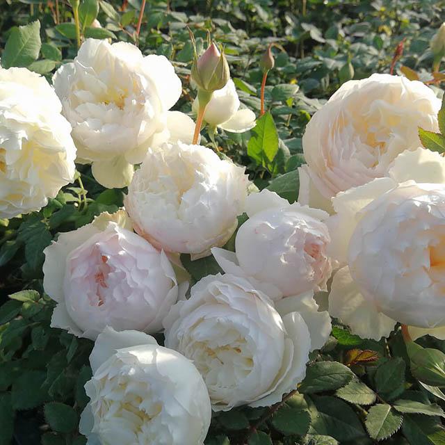 TOP 60 loại hoa hồng đẹp nhất Việt Nam và thế giới hiện nay