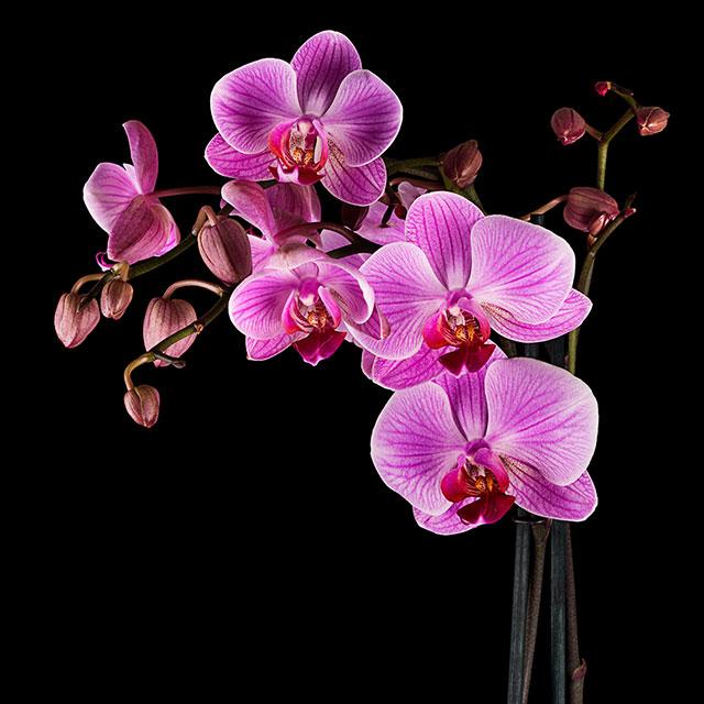 Cách giữ hoa lan tươi lâu - ảnh 3