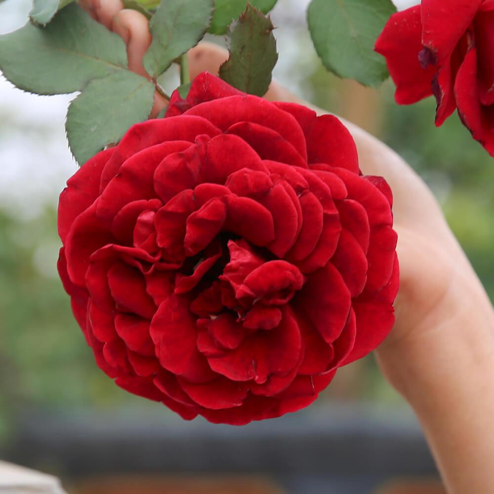 TOP 16 loại hồng ở Việt Nam, hoa cổ và quý