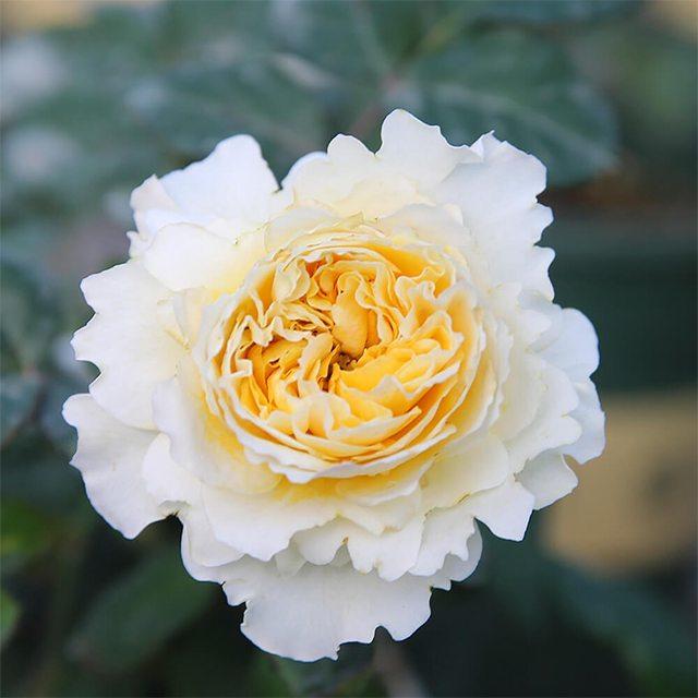 Hoa hồng nhập khẩu TPHCM - Hình 4