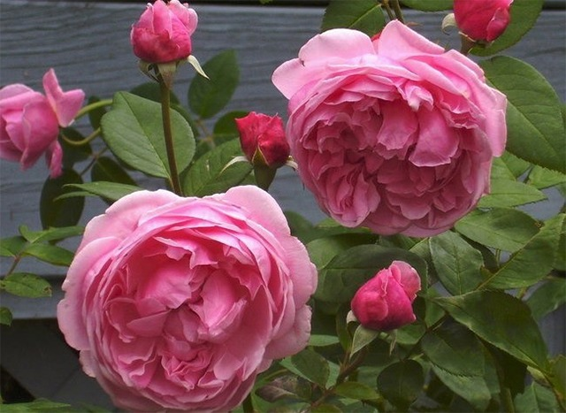 Hoa hồng nhập khẩu TPHCM - Hình 5