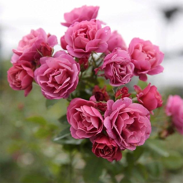 Hoa hồng nhập khẩu TPHCM - Hình 6