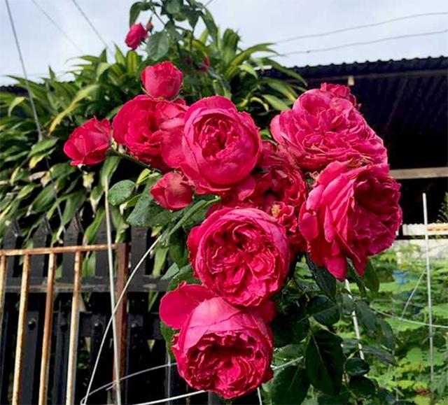 Hoa hồng nhập khẩu TPHCM - Hình 7