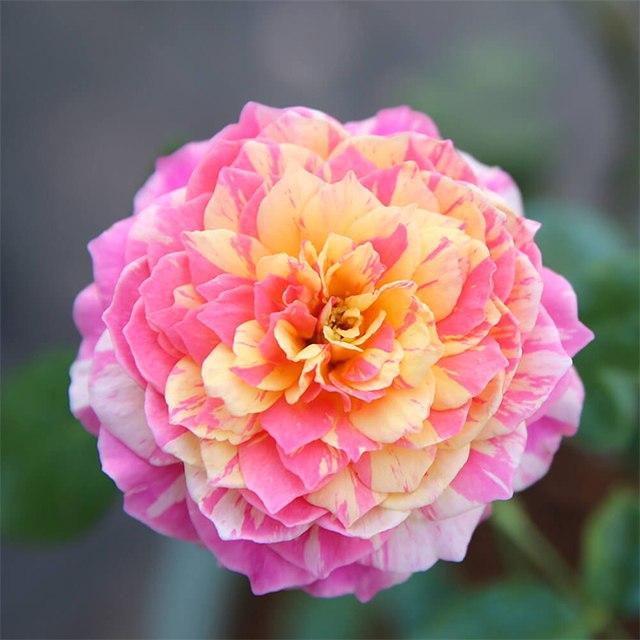 Hoa hồng nhập khẩu TPHCM - Hình 8