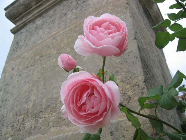 Hoa hồng nhập khẩu TPHCM - Hình 9
